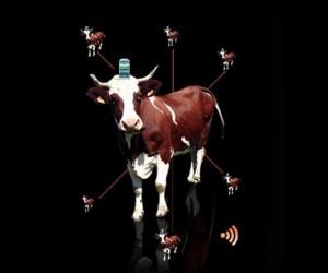 Cow-Pro : Vivez le Tour de France 2013 depuis des vaches avec Orange